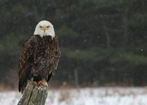 See Bald Eagles at the Eagle Institute