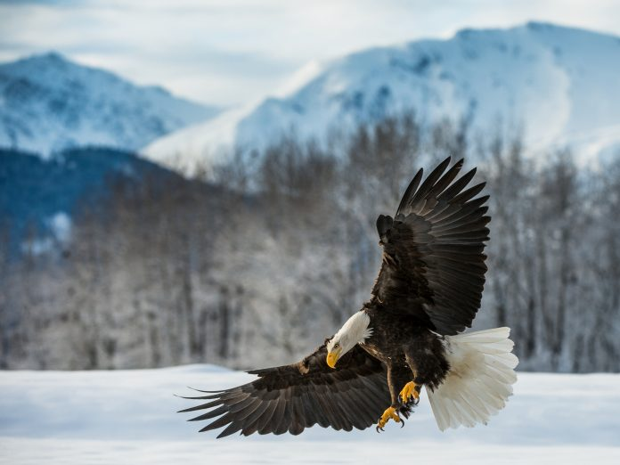 Where-to-see-bald-eagles-in-PA.jpg